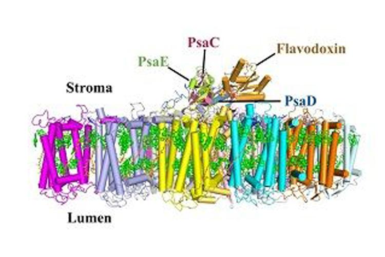 蓝藻光合作用光系统I捕获光能和电子传递的结构基础研究获进展-fudajzx.com北纳标物网