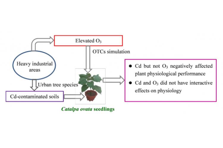 梓樹可用于臭氧和土壤鎘復合污染修復-qaxyf.com北納標物網
