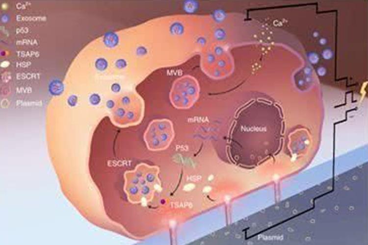 外泌体用于基因治疗-www.bncc.org.cn北纳生物